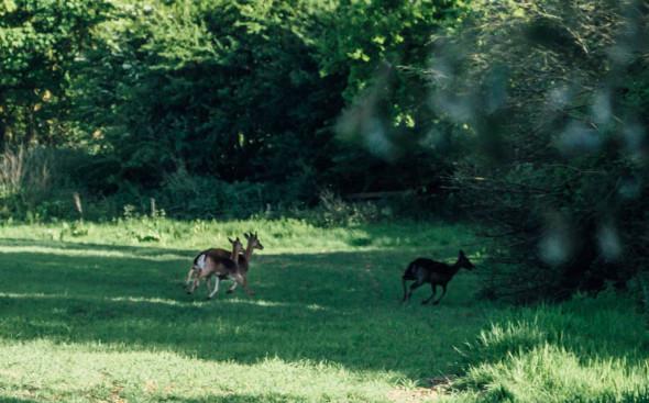 Woodlands scavenger hunt deer running away