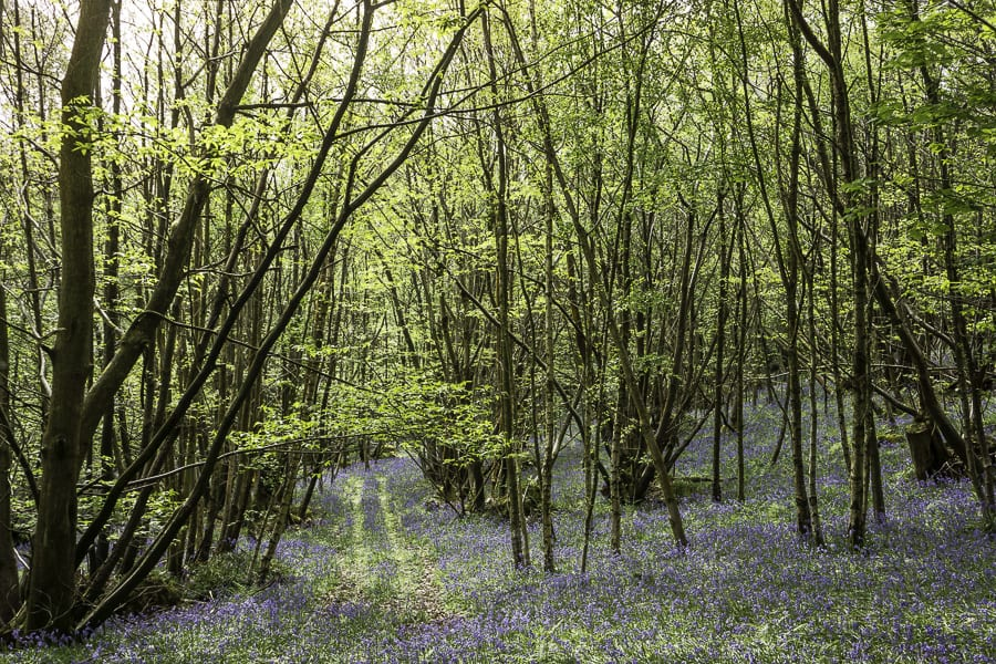 Bluebell road in woods
