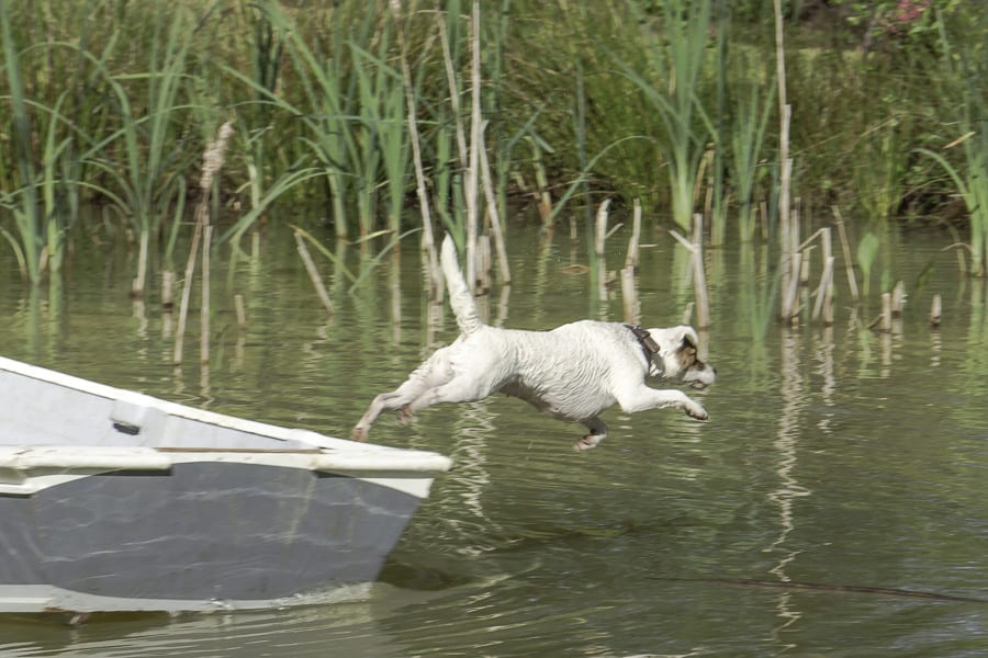 terrier jumping into pond