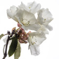 White rhododendron flowers in light