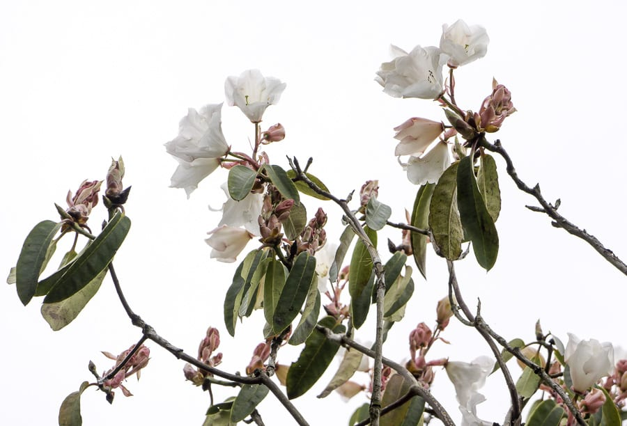 White rhododendron with pink buds