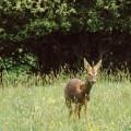 Deer in wild flower field