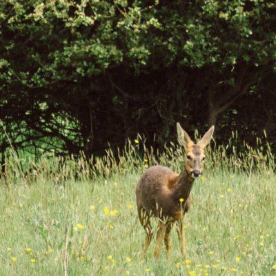 Mama Roe Deer