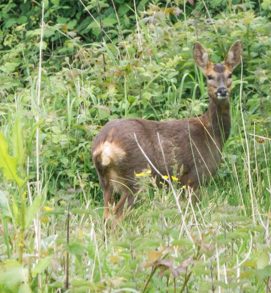 Deer near garden