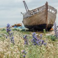 Dungeness flowers and abandoned boat