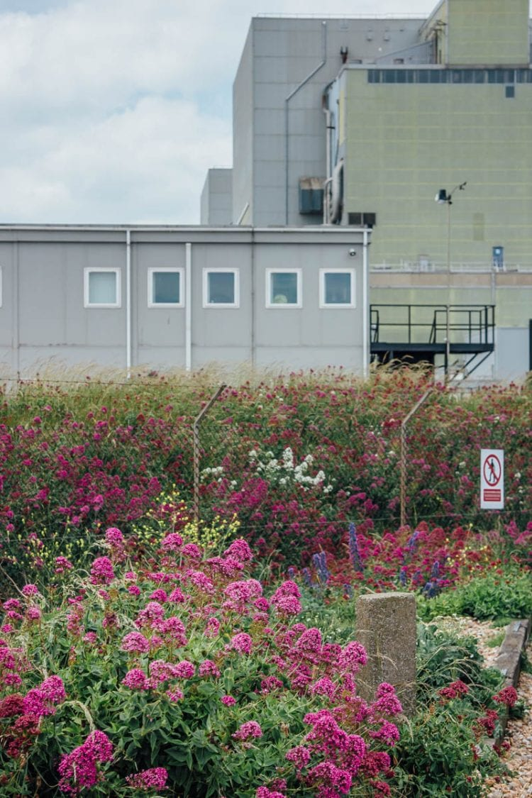 Dungeness flowers in front of nuclear power station