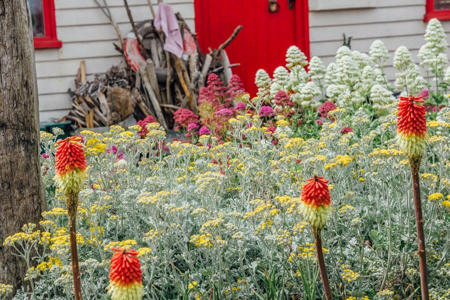 Dungeness flowers red hot poker Nobilis in garden