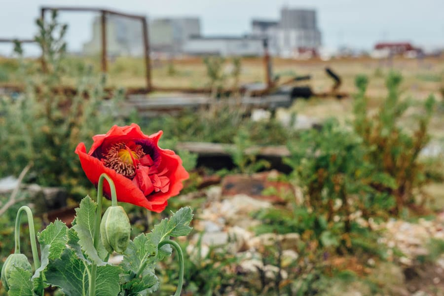 Dungeness flowers red poppy and nuclear power stations