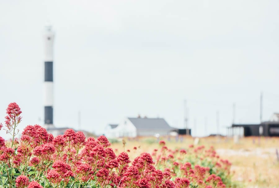 Dungeness flowers red valerian and lighthouse