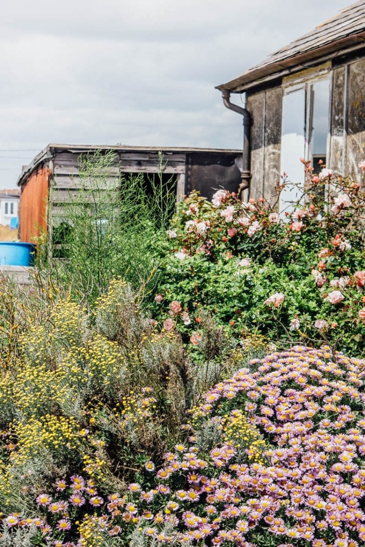Dungeness flowers roses cottage