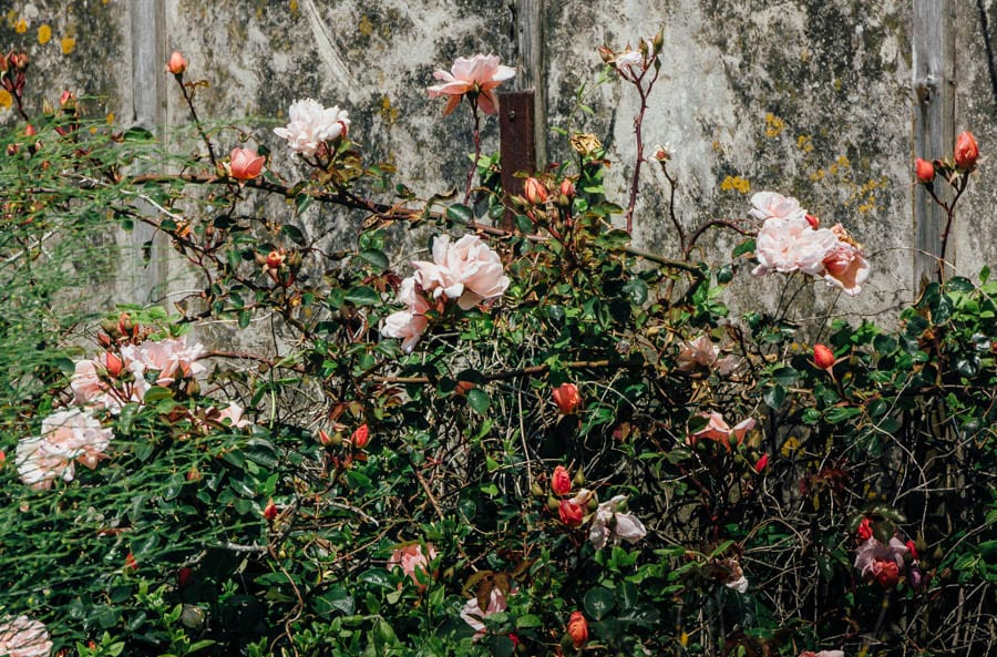 Dungeness flowers roses