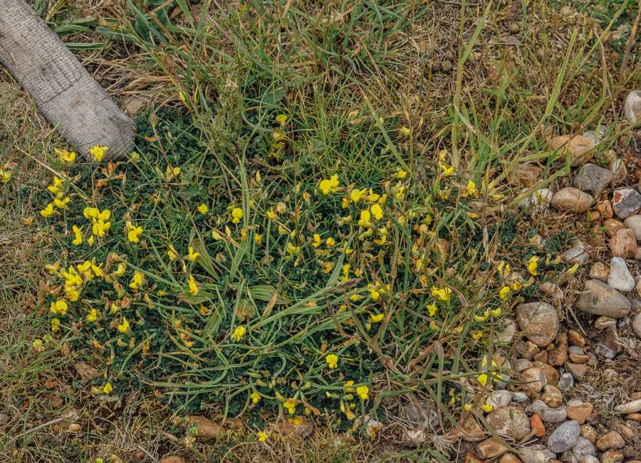 Dungeness flowers yellow flowered broom brushes