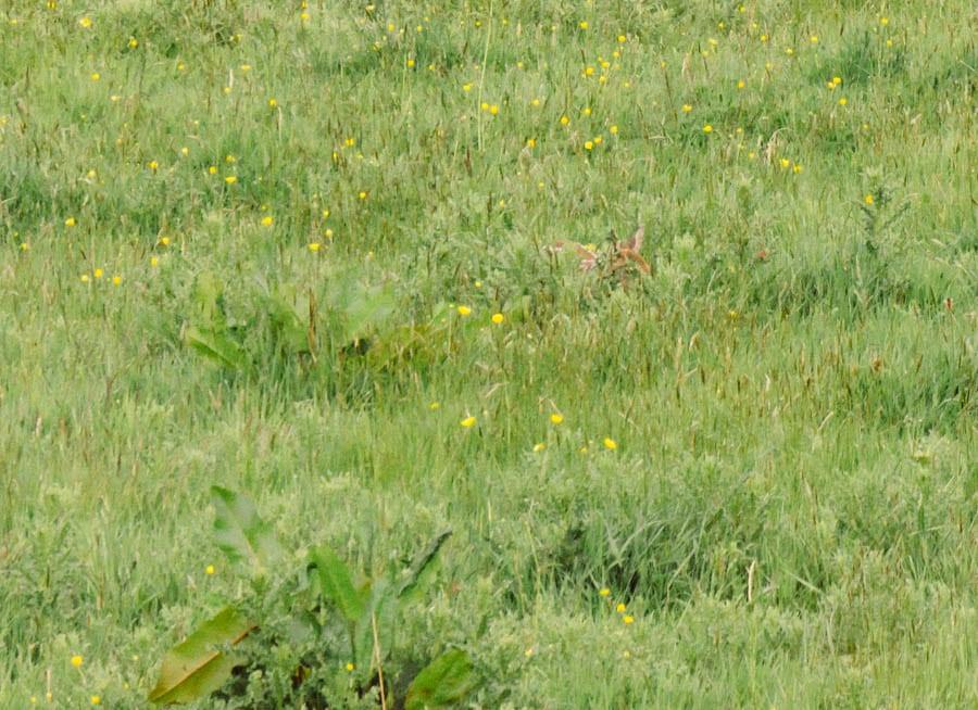 Fawn hidden in wild flowers
