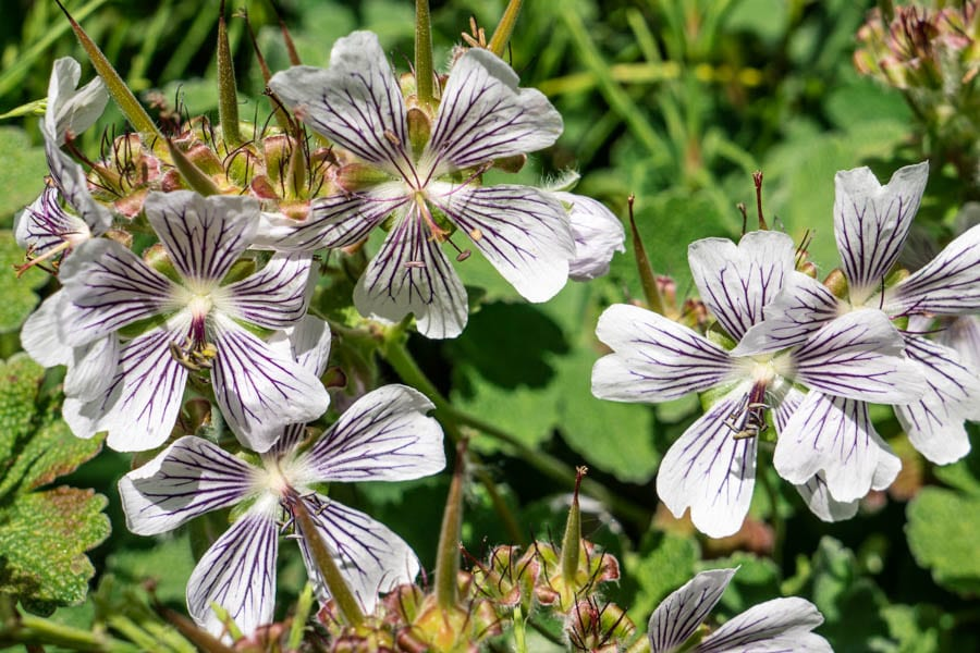 Geranium Crystal Lake flowers