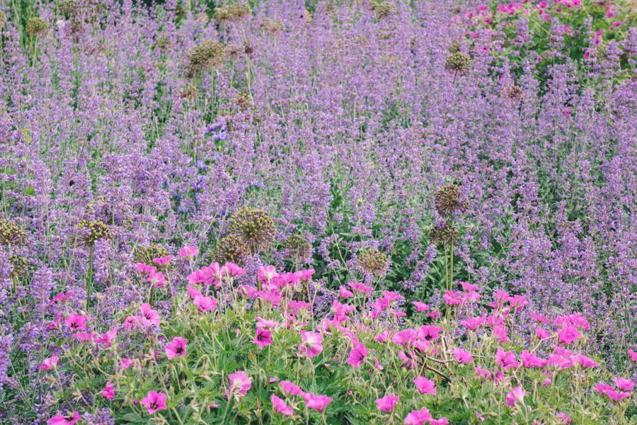 Gravetye Manor lavendar bed with pink flowers