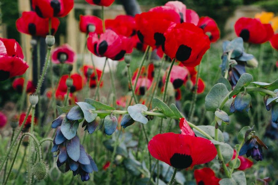 Gravetye Manor poppies
