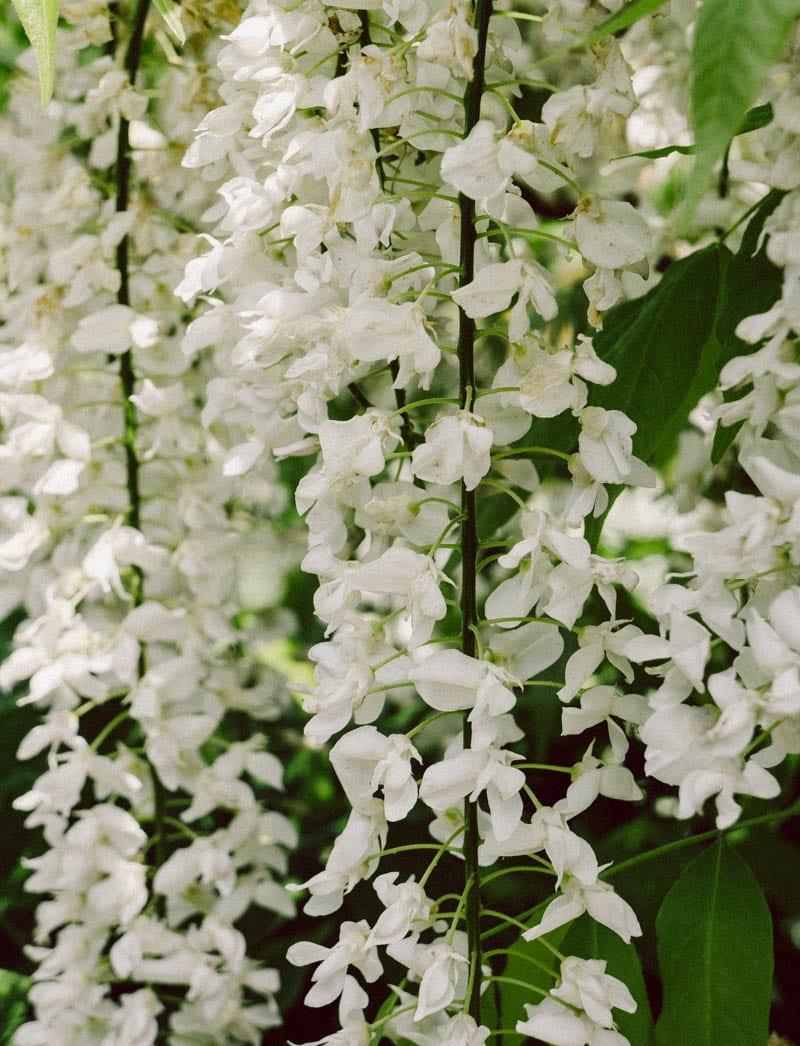 Gravetye Manor whiste wisteria strands
