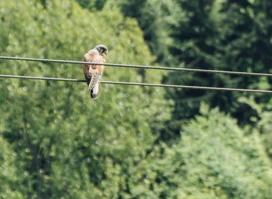 Kestrel on wire above field