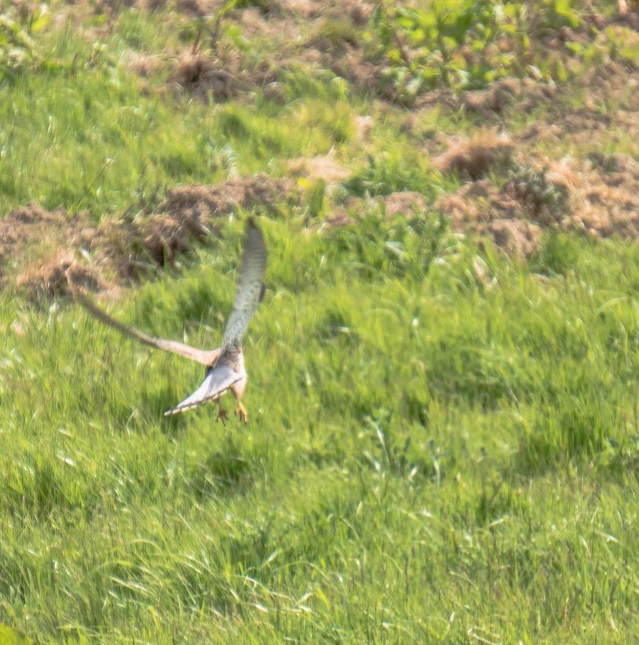 Kestrel swooping down