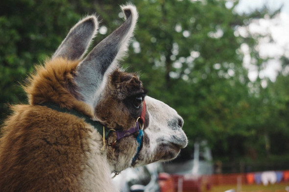 Llama watching village fair