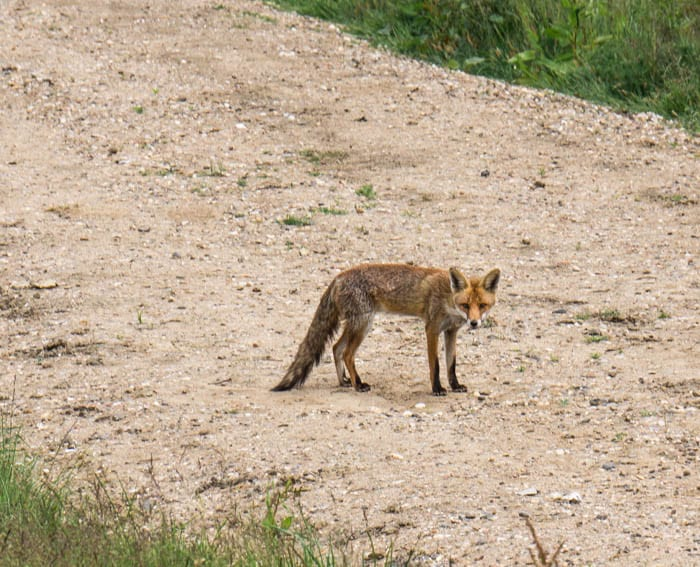 Red fox in Sussex countryside