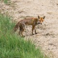 Red fox standing in countryside dirt track