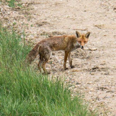 Wildlife Adventure – A red fox walks by