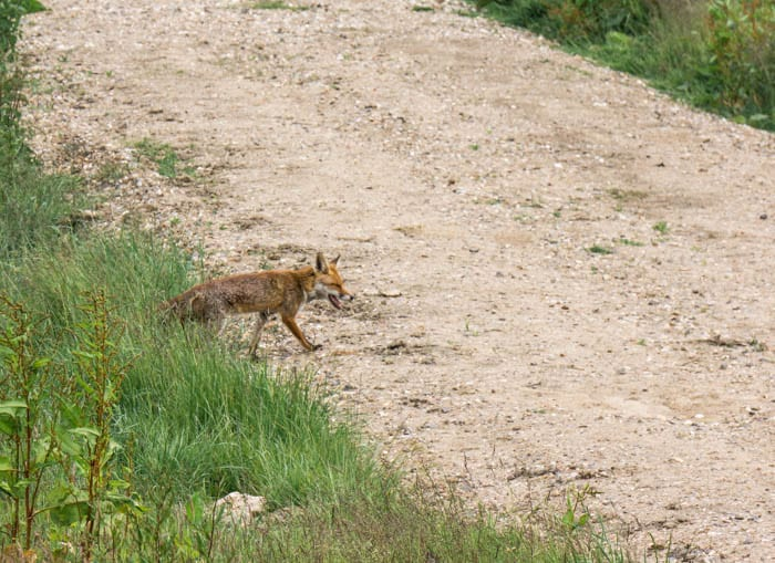 Red fox walking out of undergrowth