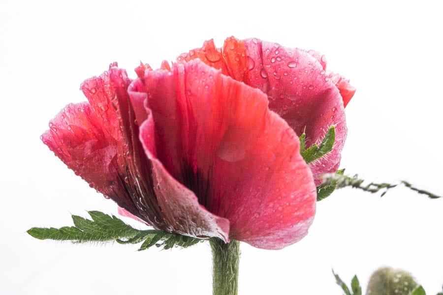 Red poppy against sky