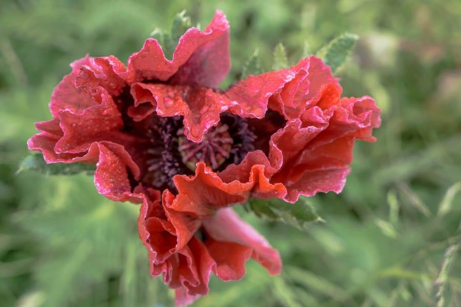 Red poppy opening