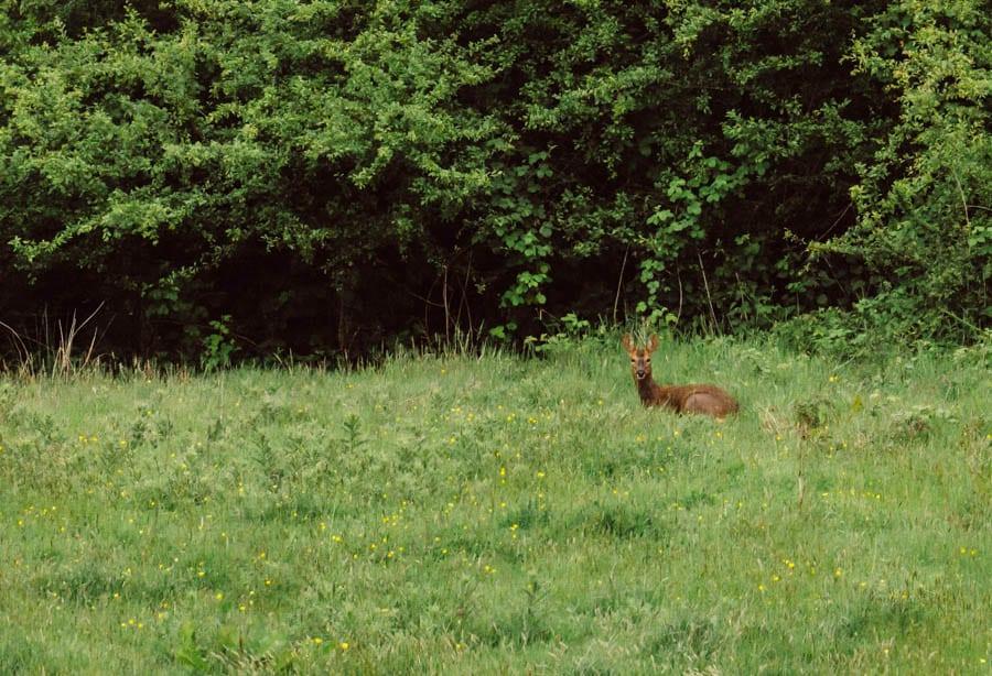 Roe Deer sitting in meadow