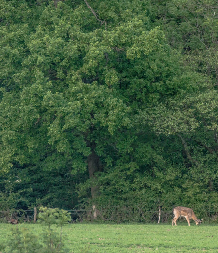 Stag grazing