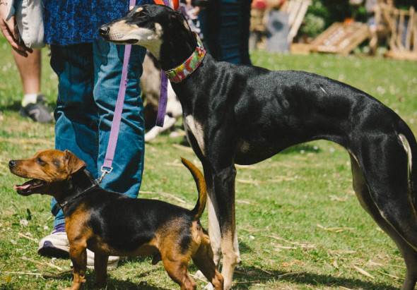 Little and tall pet dogs at village fair