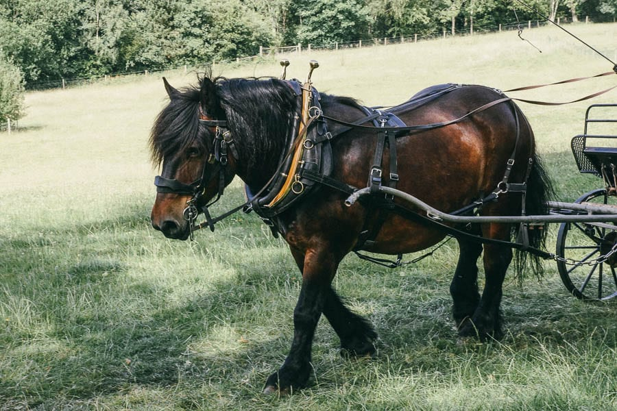 Ardennes heavy breed horse pulling carriage