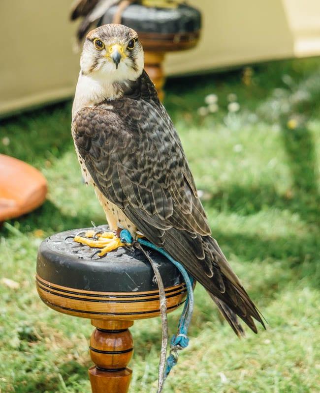 Bird of prey chained