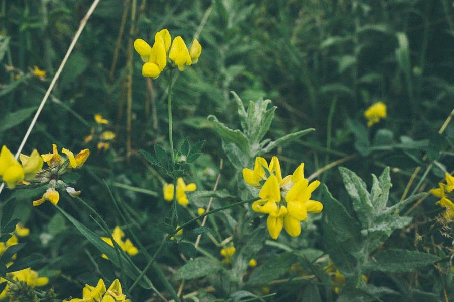 Common bird trefoil flowers