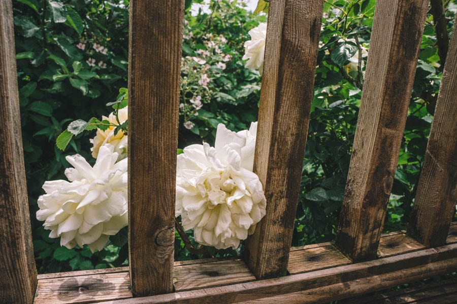 Creamy yellow roses by wood railings
