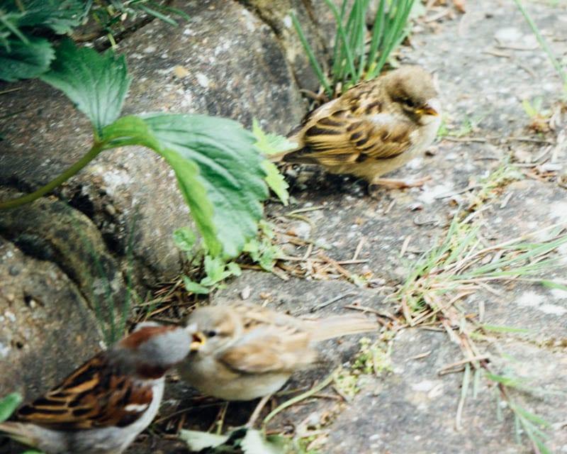 House sparrow feeding fledglings