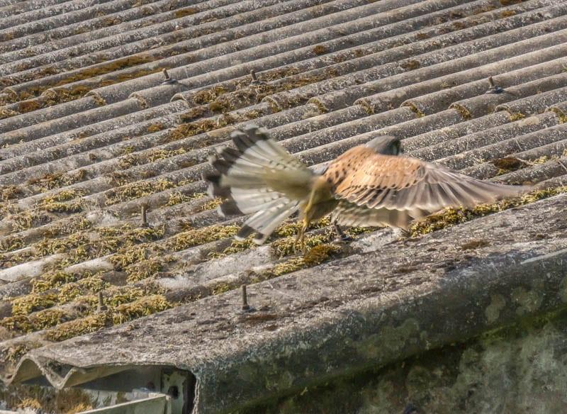 Kestrel flying over roof