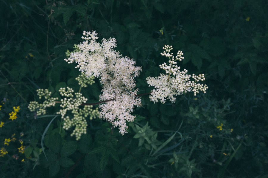 Meadowsweet from above