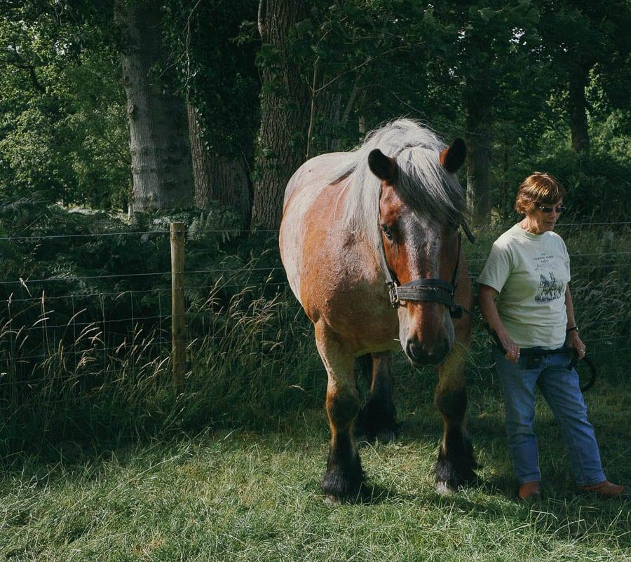 Monty Ardennes working horse