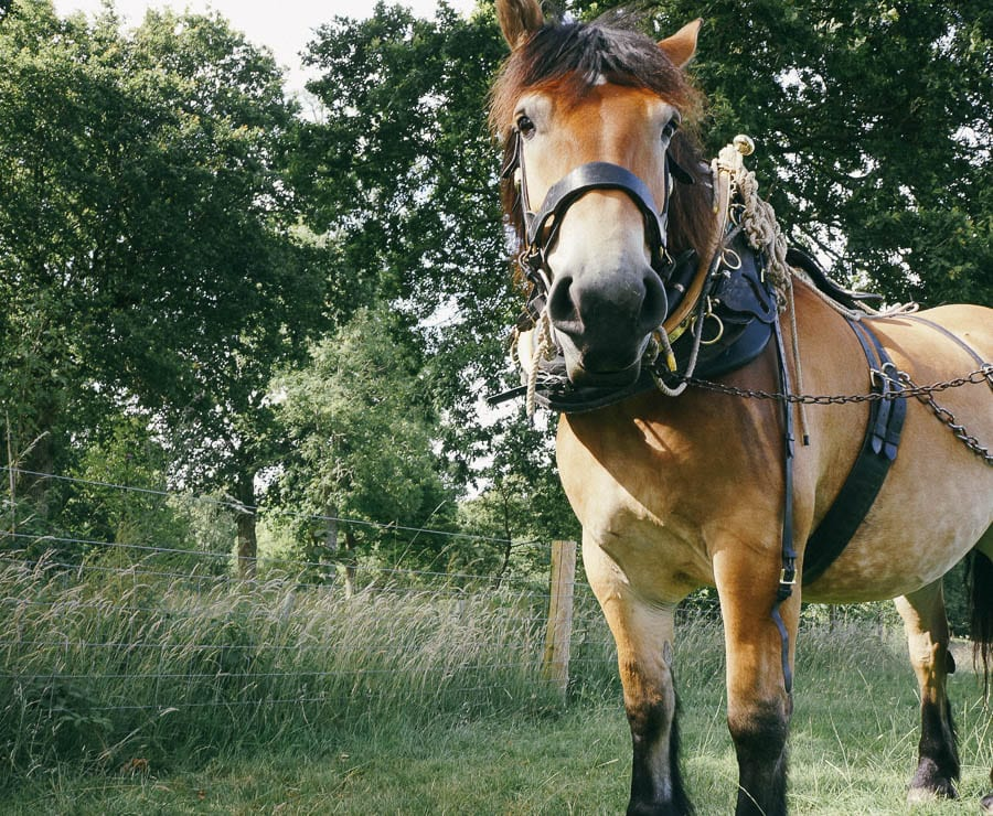 Polly carriage working horse staring