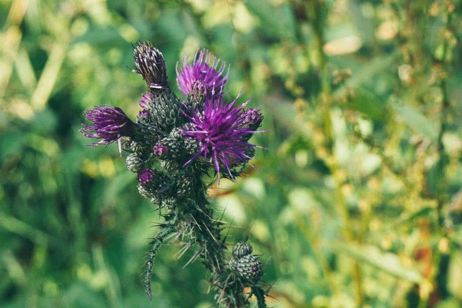 Purple thistle plant