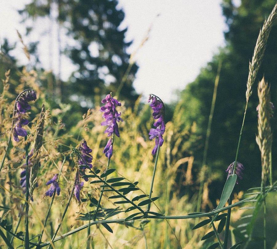 Purple wild flowers tufted vetch on wood path