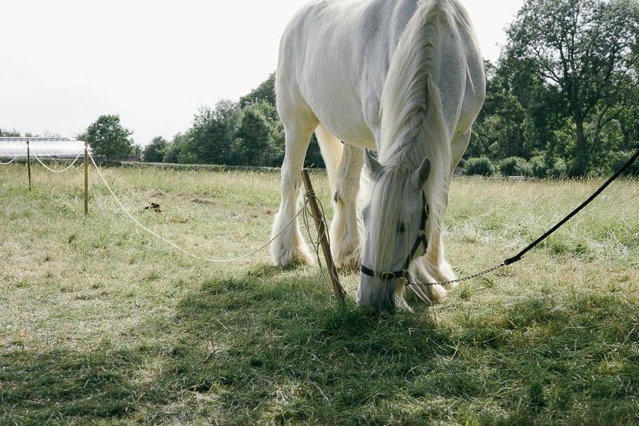 Grey Shire working horse grazing