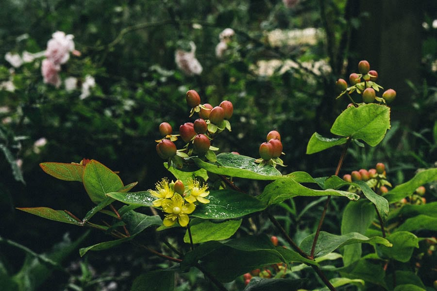 St Johns Wort and roses behind