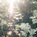 Sunrays on meadowsweet