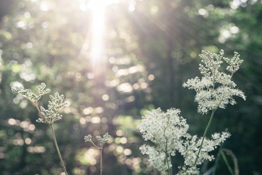 Sunrays on meadowsweet