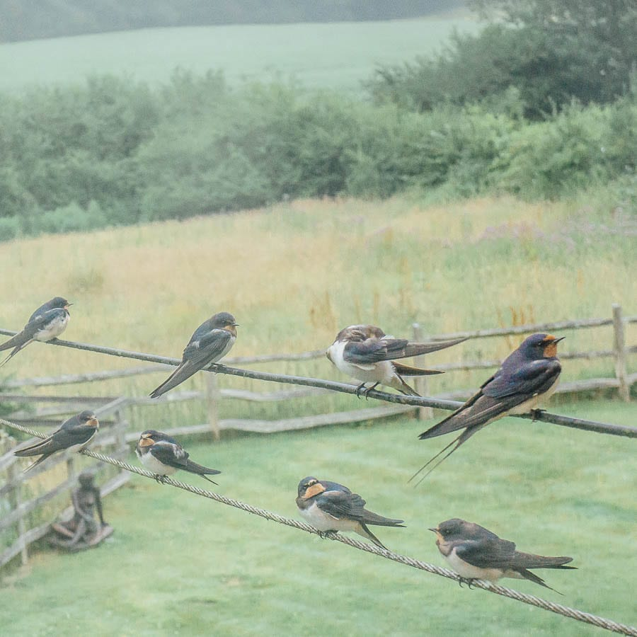 Swallows on wire over garden