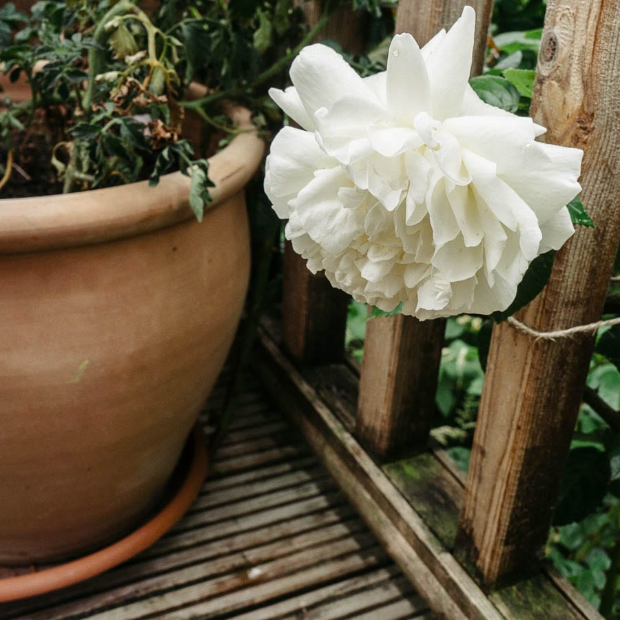 White rose and plant pot